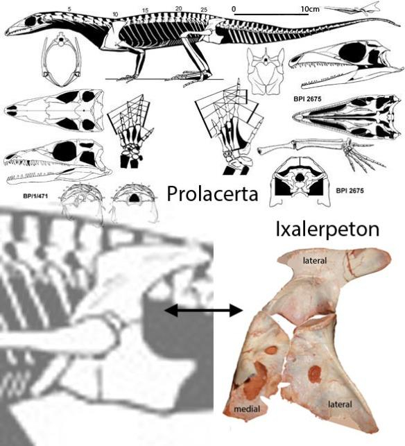 Figure x. Ixalerpeton pelvis compared to Prolacerta.