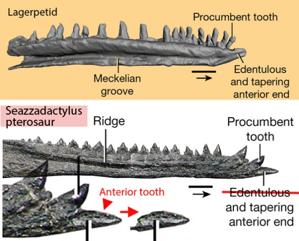Figure x. New mandible compared to the Triassic pterosaur Seazzadactylus where the tip is actually a tooth as in Langobardisaurus.