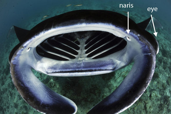 Figure 6. Manta ray mouth lacking a barbel. Compare to its living sister, Rhynchodon, the whale shark.