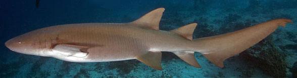 Figure 1. The nurse shark, Ginglymostoma, in vivo.
