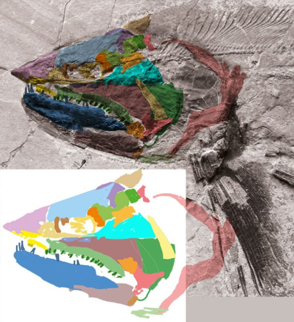 Figure 2. The shark-like skull of Orthocormus, a ray-fin bony fish.