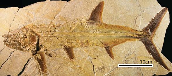 Figure 1. Orthocormus, a small, bony fish with a shark-like face.