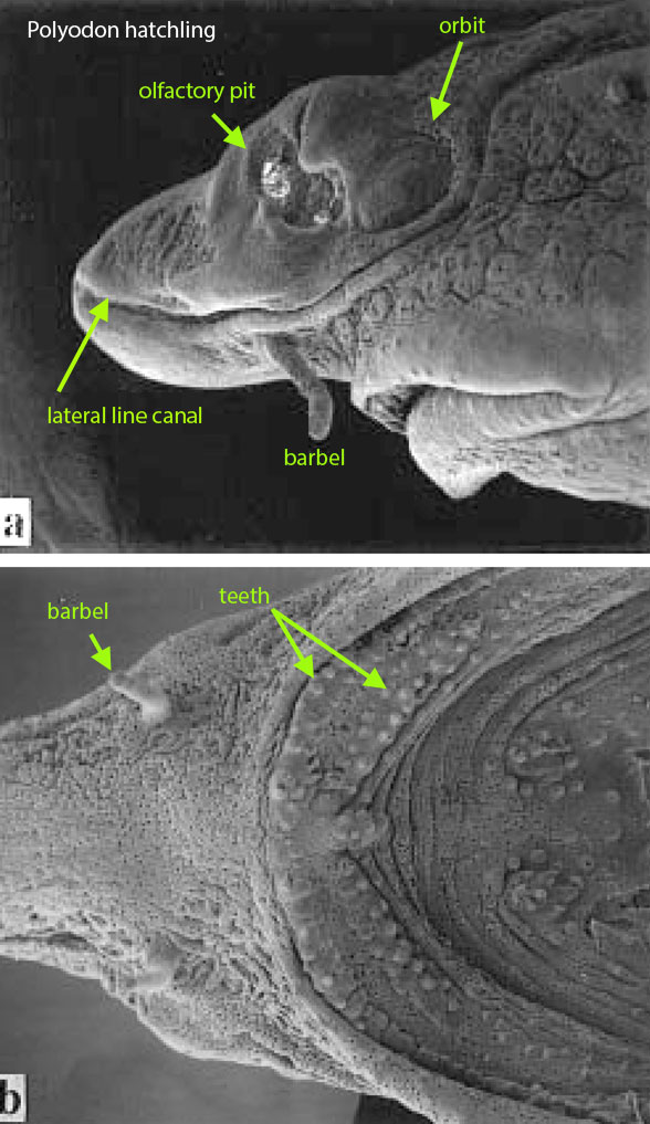 Figure 4. Paddlefish (Polyodon) hatchling in 2 views. This taxon marks the origin of marginal teeth. Barbels go back to whale sharks (Fig. 5). From the caption: Scanning electron micrographs of Polyodon spatula larva: The olfactory pit has not yet completely subdivided into anterior and posterior nares. Many clusters of ampullary electroreceptors are visible on the cheek region dorsal to theupper jaw. The teeth of the upper jaw are erupting in twoseries. Additional erupting teeth can be seen at the leading edge of infrapharyngobranchial.