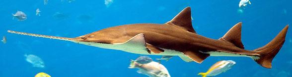 Figure 1. The sawfish (Pristis pristis) in vivo.