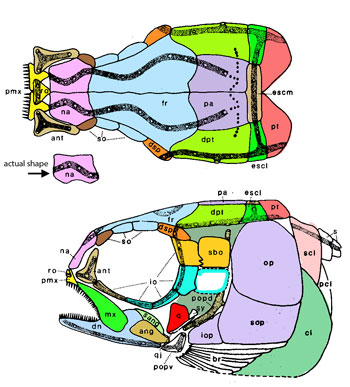 Figure 3. Prohalecites diagram from Tintori 1990, colors added.