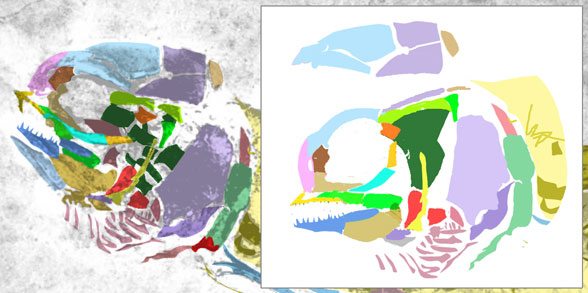 Figure 4. Prohalecites skull from Arratia 2015, colors added.
