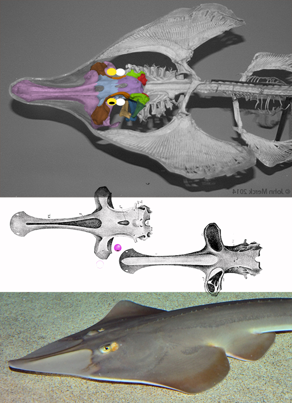Figure 5. Updated image of Rhinobatos showing a lateral expanded prefrontal (brown) on top of the nasal (pink). Apologies for the earlier misunderstanding. I'm learning as I go and no prior studies attempt to color shark skulls with tetrapod homologs.