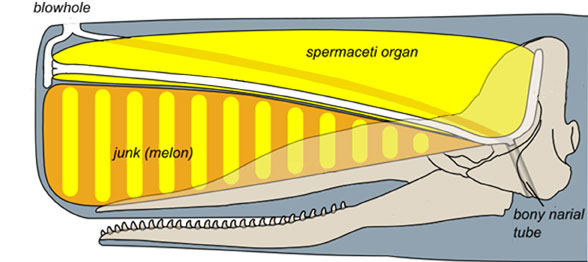 Figure 1. Sperm whale head diagram showing  the spermaceti organ and the junk (melon) sitting atop the elongate rostrum, as in sharks, more or less.  See figure 2.