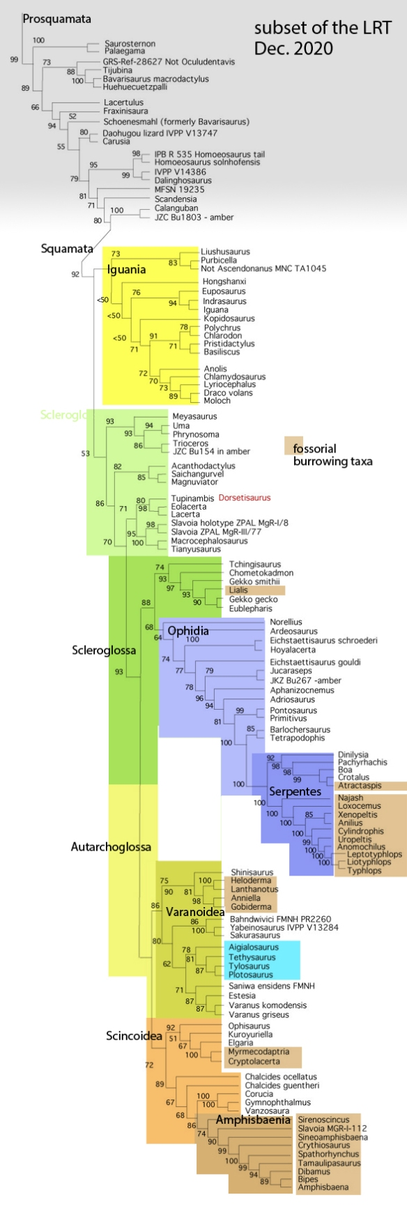 Figure 2. Subset of the LRT focusing on Squamata. Compare to Ebel et al. 2020 in figure 1.