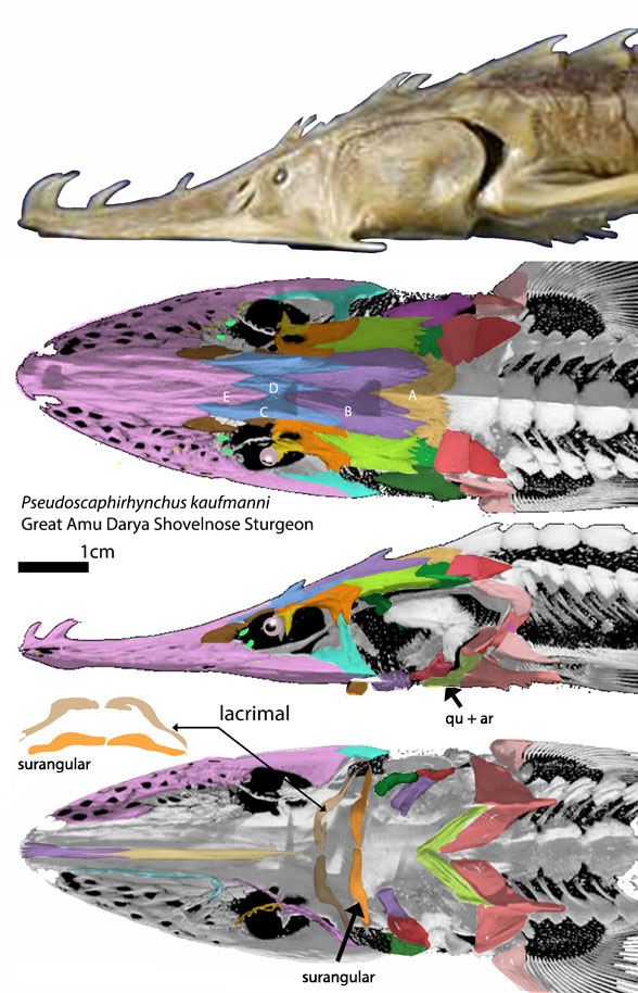 Figure 2. Skull of Pseudoscaphorhynchus. Note the mouth is created by the lacrimal and angular, not the maxilla and dentary, which are tooth-bearing bones in more derived fish.