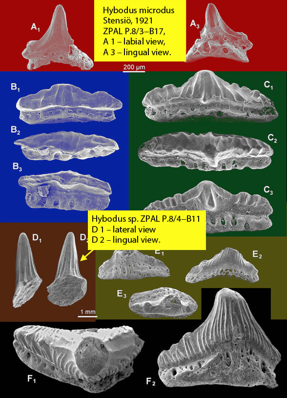 Figure 4. Teeth of Hybodus species from Blazejowski B 2004, colors added. Note the wide variety and how two specimens approach the narrow cone morphology found in the basal bony fish, Amia and Gymnothorax (Fig. 1).