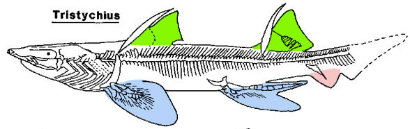 Figure 1. Tristychius, a basal shark from the Early Carboniferous,