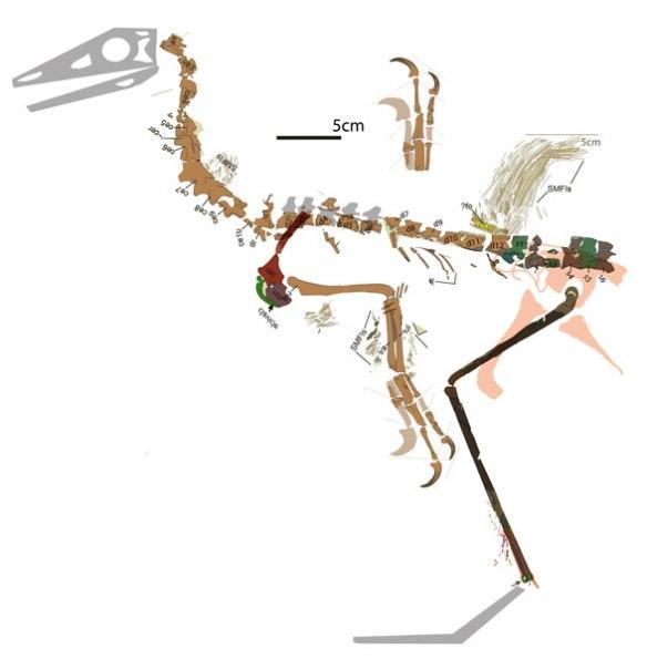 Figure 4. Ubirajara rough reconstruction from diagram in Smyth et al. 2020.