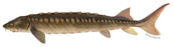 Figure 2. Acipenser brevirostrum, 1m typical length. Records up to 1.47m.