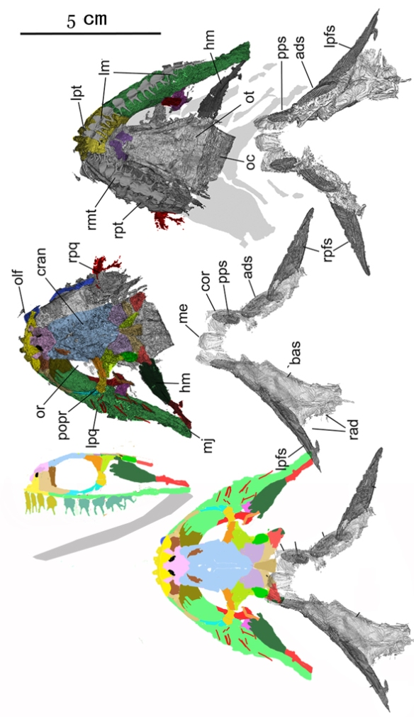 Figure 1. Doliodus from Maisey et al. 2018. Colors added. Compared to Malacosteus in figure 2.