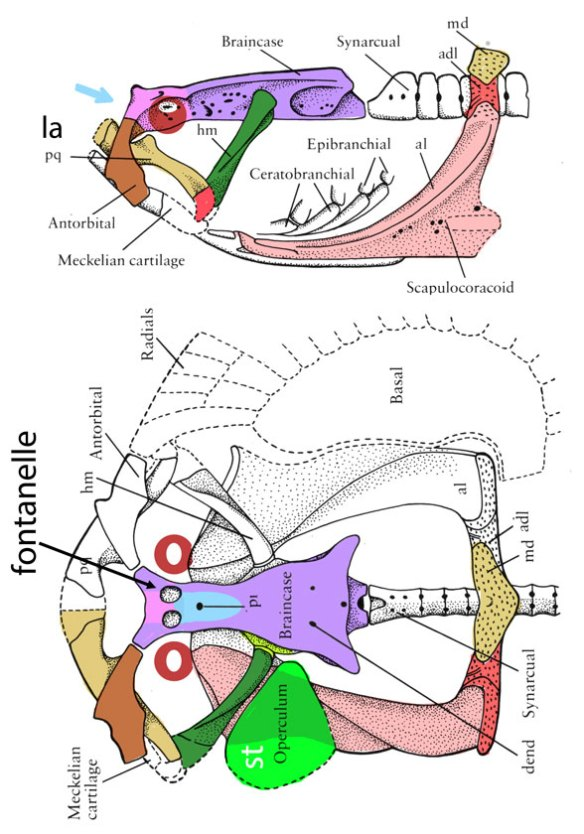 Figure 1. Jagorina in two views from Carroll 1988 and here colored with tetrapod homologs.