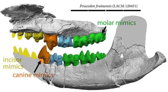 Figure 1. Priacodon µCT scans from Jäger et al. 2020. Colors and restoration added. This looks like a mammal jaw. The LRT nests it with mammal mimics. That's an odd sort of canine with more than one cusp.