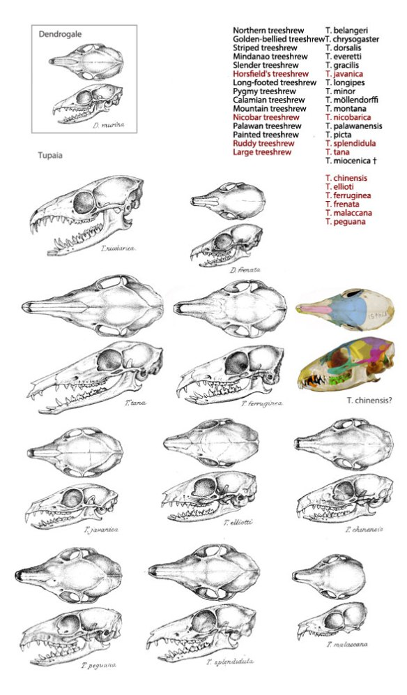 Figure 1. Skulls of Tupaia to scale, plus a list from Wikipedia and others shown here not on that list.