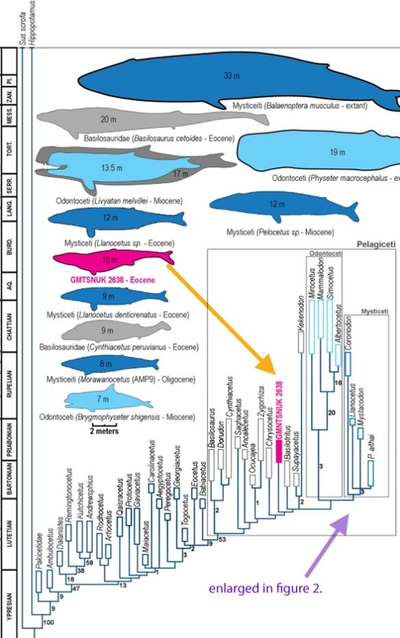 Figure 1. Cladogram from Davydenko et al. 2021 showing how they nested Playosphys einori. See figure 2 for their proposed mysticetes (with teeth!)