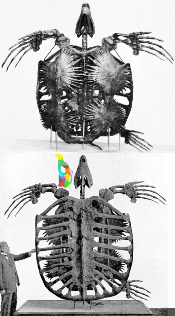 Figure 1. Classic photos of Archelon in ventral and dorsal views.