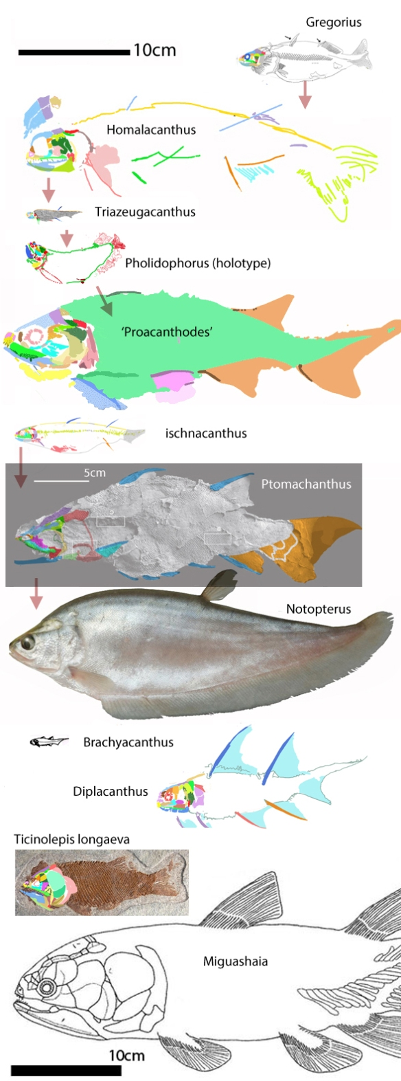 Figure 1. Taxa from the LRT on the other branch of the bony fish, including spiny sharks, bony tongues, placoderms, catfish and lobefins.