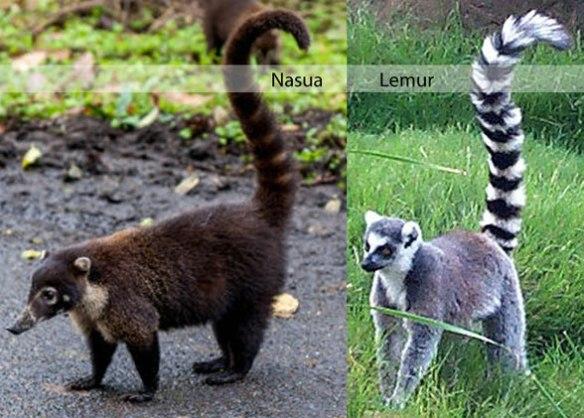Figure 1. The coatimundi (Nasua) compared to the ring-tailed lemur (Lemur).
