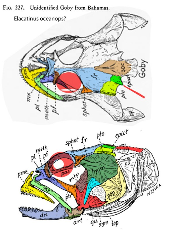 Figure 1. Elactatinus skull from Gregory 1933 ion dorsal and lateral views.