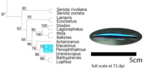 Figure 1. Elacatinus the neon goby, full scale on a 72 dpi monitor.
