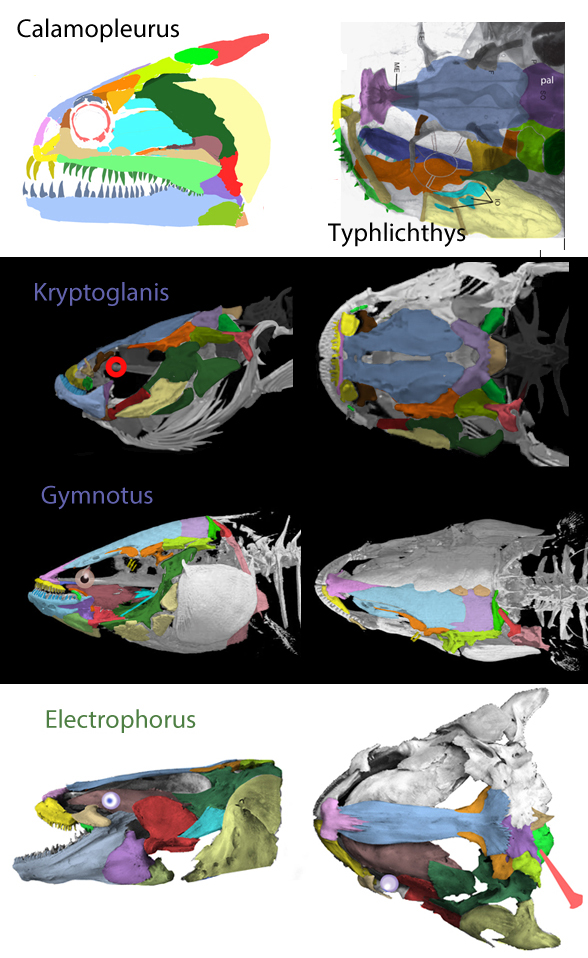Figure 1. Skulls of electric eel ancestors going back to theEarly Cretaceous bowfin Calamopleurus.