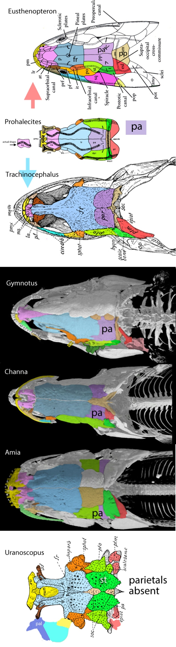 Figure 1. Fish skull roofs colored with tetrapod homologs. The parietal is of interest here as it splits in the wake of the post parietal, which forms a parasagittal crest in many taxa. The parietal disappears in some taxa.