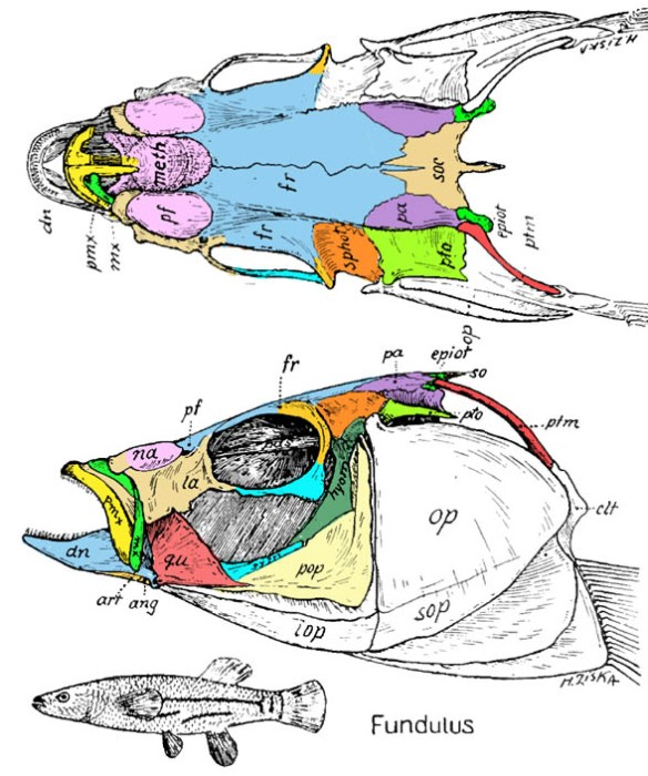 Figure 1. Skull of the killifish, Fundulus, from Gregory 1933. Compare to the barracuda, Sphyraena, in figure 2.