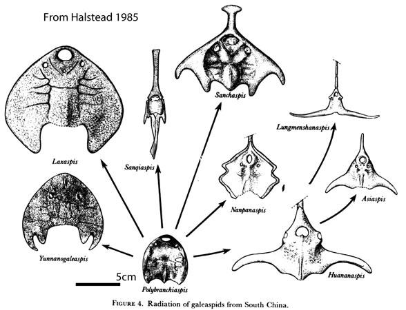 Figure 1. Galeaspids from Halstead 1985.