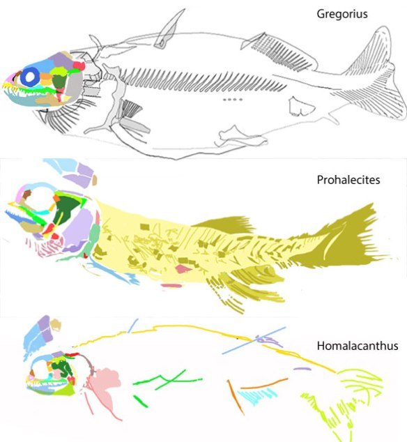 Figure 1. Gregorius descends from Hybodus, the shark and is ancestral to Prohalecites at the base of the ray-fin bony fish. Gregorius is also ancestral to Homalacanthus at the base of the spiny sharks leading to lobefins, placoderms, catfish and a variety of other taxa.