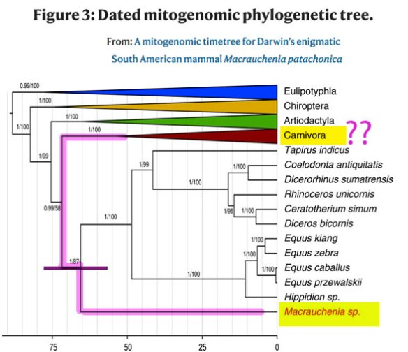 Figure 1. Gene-based cladogram from Westbury et al. 2021 (slightly compressed to fit). Note the close relationship between Carnivora and Macrauchenia here. That is not replicated in a trait-based study (Fig. 2).