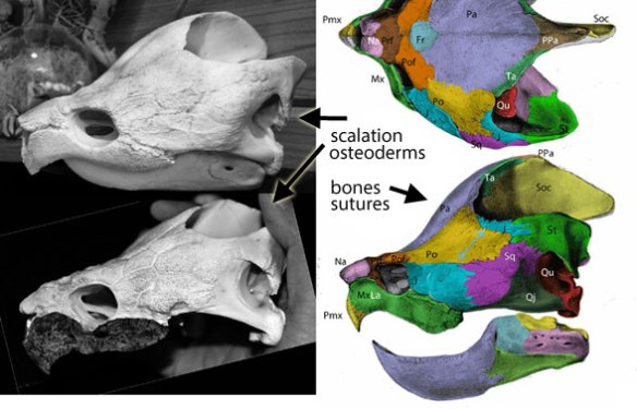 Figure x. Osteoderms on the left don't always align with bones on the right in these images of Macrochelys.