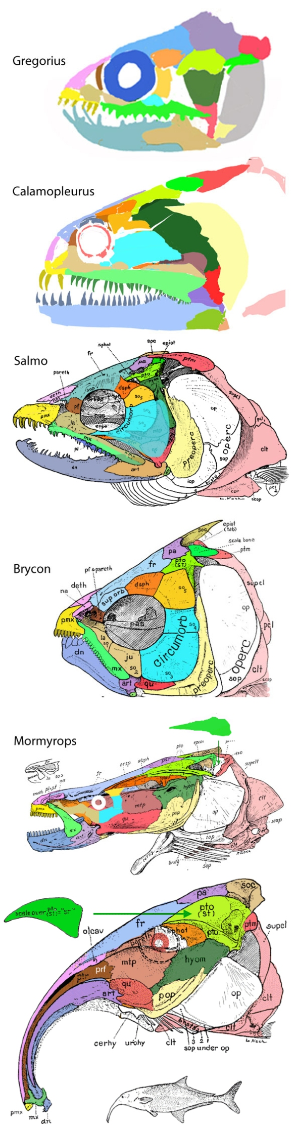 Figure 2. Mormyrid skull evolution as told by sample taxa from their ancestry. Note the layering of the green supratemporal atop the yellow-green intertemporal begins with Brycon.