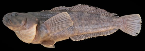 Figure 3. Notothenia is a Coryphaena sister of the deepest oceans.