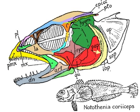 Figure 1. Notothenia is a deep sea mahi-mahi in the LRT.