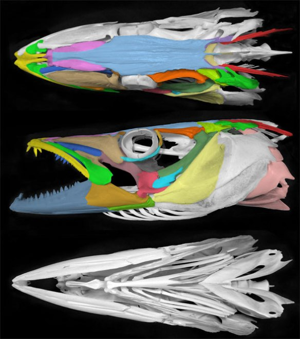 Figure 2. Skull of the barracuda, Sphyraena. Compare to the killifish, Fundulus, in figure 1.