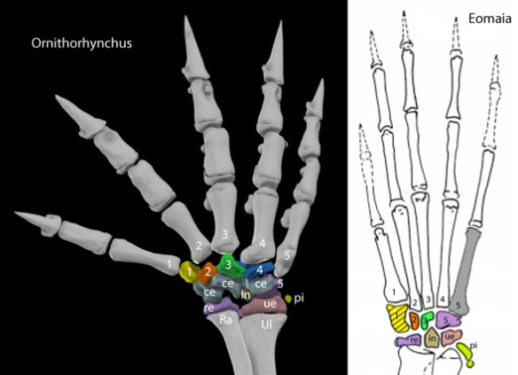 Figure 2. Right manus of the platypus, Ornithorhynchus and early therian, Eomaia. Carpal elements colored.