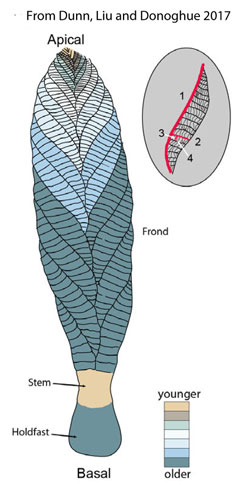 Figure 1. Illustration of Charnia showing growth stages.