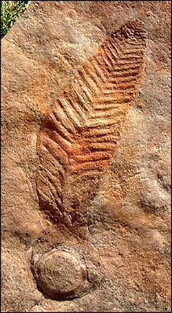 Figure 2. Charnia in situ with holdfast.
