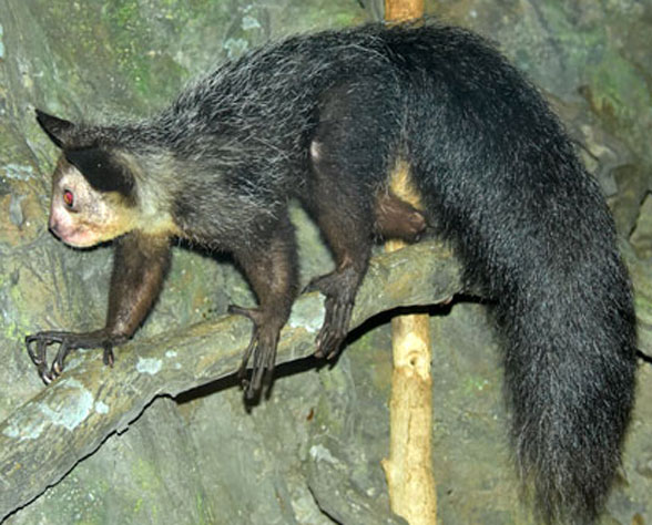 Figure 6. The aye-aye, Daubentonia in vivo. This is the closest living relative of multituberculates and is itself a plesiadapiform member of Glires, close to rodents, not primates.