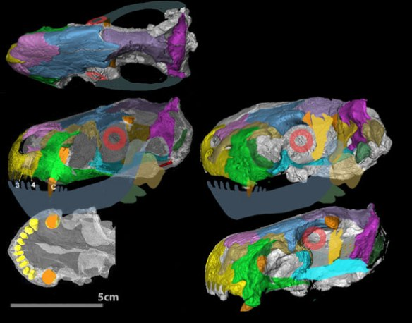 Figure 1. Euchambersia skull with colors and shifting bones added.