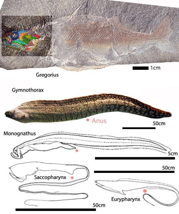 Figure 6. Eurypharynx evolution. This clade split from Gregorius prior to the major split in bony fish.