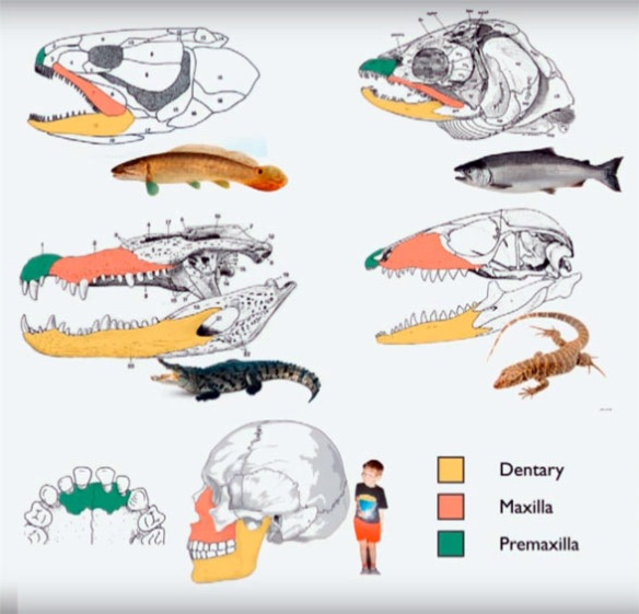 Figure 2. Keating's illustration of vertebrate skulls with tetrapod homologs colored, as is done here.