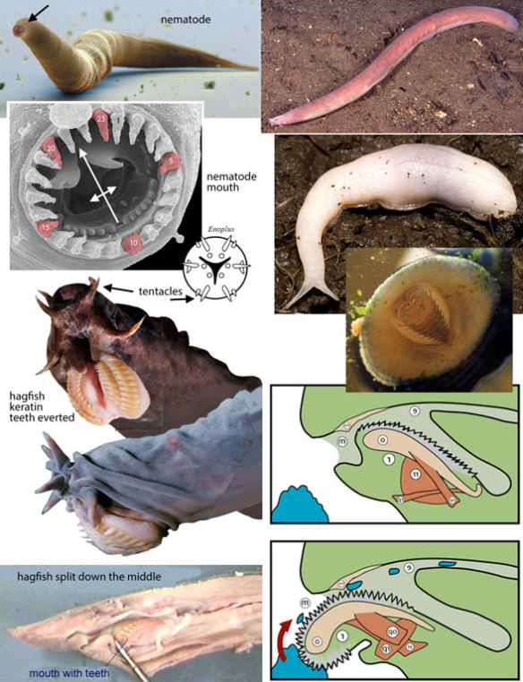 Figure 1. Nematodes, hagfish and slugs have so many traits in common, one wonders why they are not related to one another.