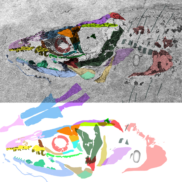 Figure 2. Harpagofututor skull colored and reconstructed here. Compare to Gymnothorax in figure 4.