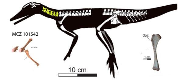 Figure 3. Ixalerpeton compared to MCZ 101542.