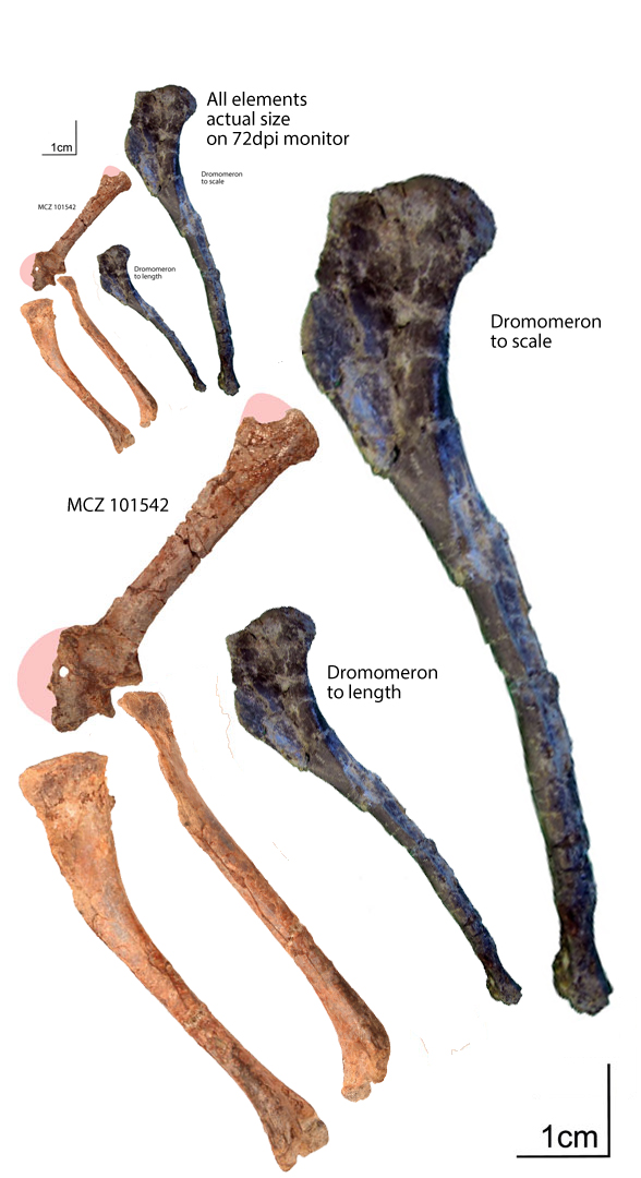 Figure 2. MCZ 101542 scapulocoracoid and humerus compared to Dromomeron humerus.